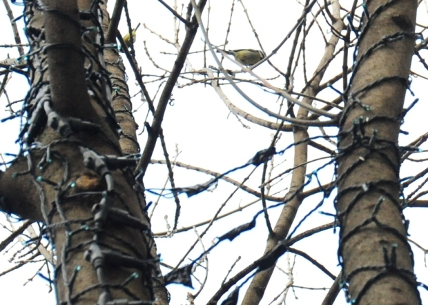 Blue tits in ash tree vandalised by wires and steel staples