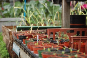 Tomato seedlings in pots.