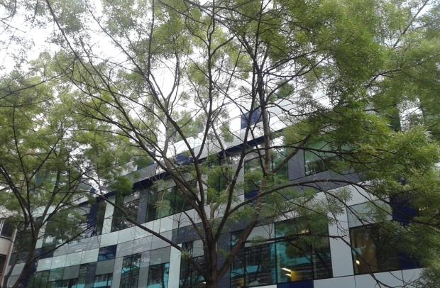 Acacia street trees.