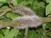 Caterpillars in oak tree.