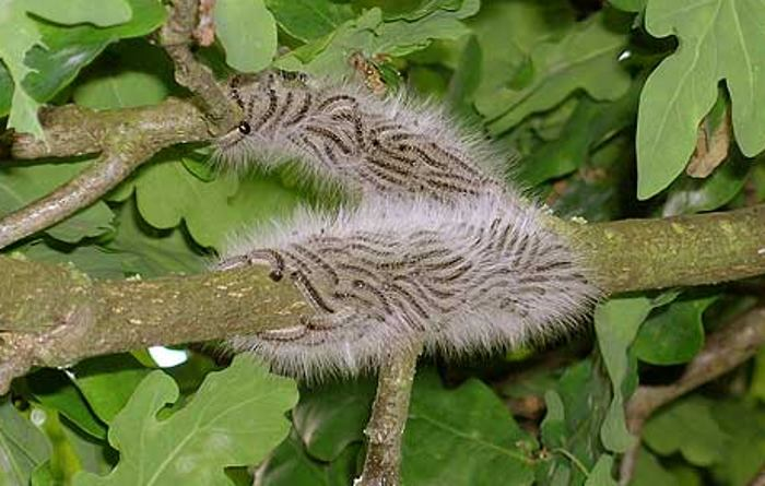 Caterpillars in oak tree.