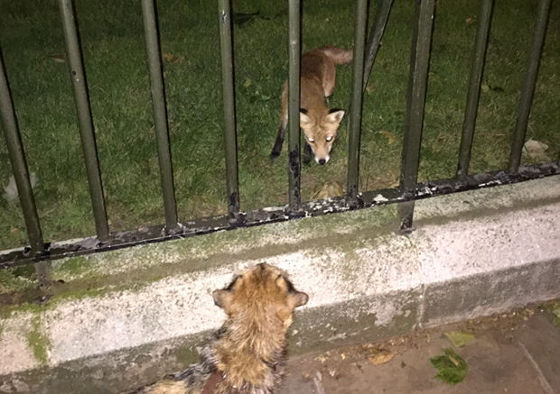 Fox and dog look at each other through railings.