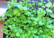 American land cress in box.