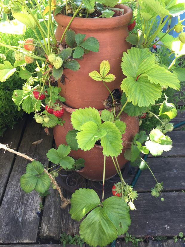 Clay strawberry pot with plants.