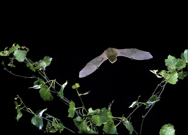 Bat flying at night.