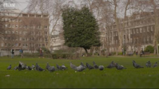pigeons-bloomsbury