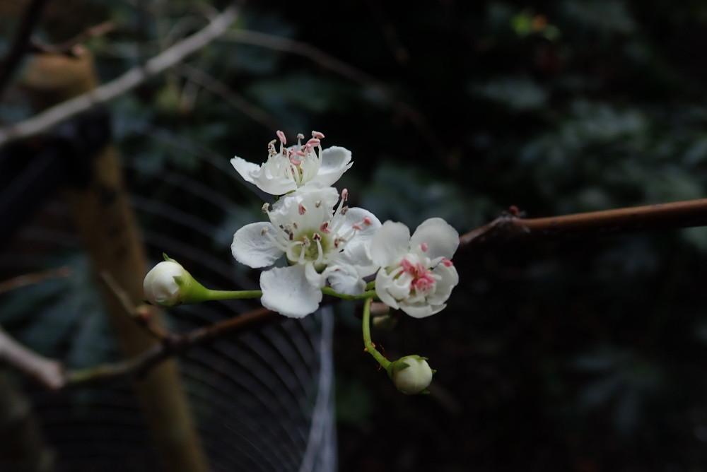 Hawthorn blossom.