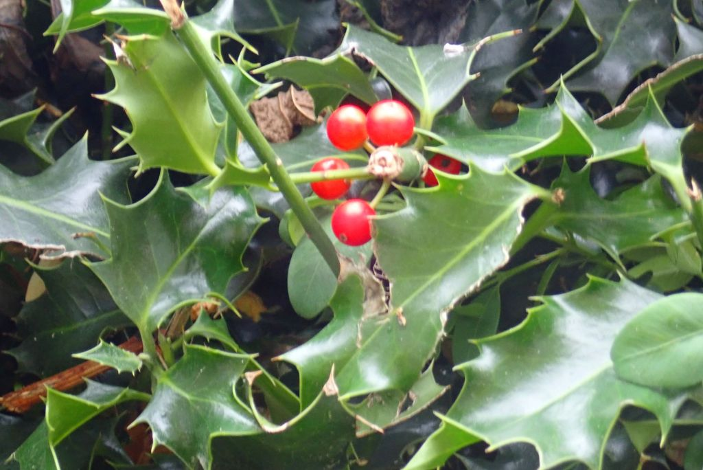 Holly and berries.